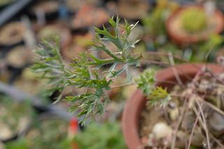 DSC_7337 Pelargonium pulverulentum ペラルゴニウム プルベルレンタム