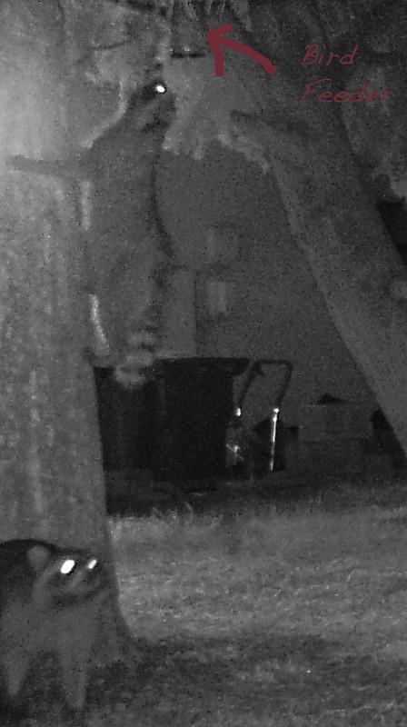 racoons_climbing_tree-20171221-109-2