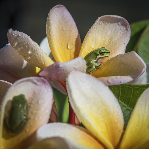 frangipani flowers spring backyard australia queensland longexposurephotography macro fun plant flower cluster outdoor bright greentreefrog wildlife frog norberttrewin nikond810 tree