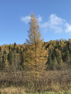 The Tamarack Pine, a Deciduous Conifer