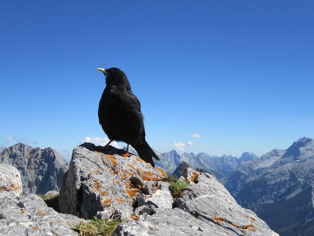 Alpendohle auf der Westlichen Karwendelspitze