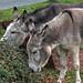 Donkeys New Forest