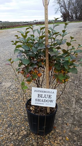 Fothergilla Blue Shadow 3 gal 15-18 | by Johnson Farms
