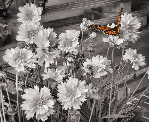 Monarch Butterfly at Bunnings