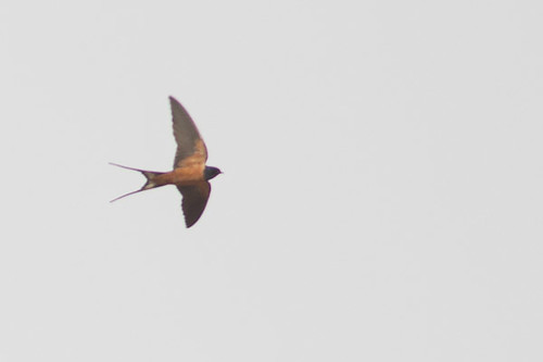Egyptian Barn Swallow