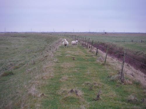 Sheep on Seawall, near Camber