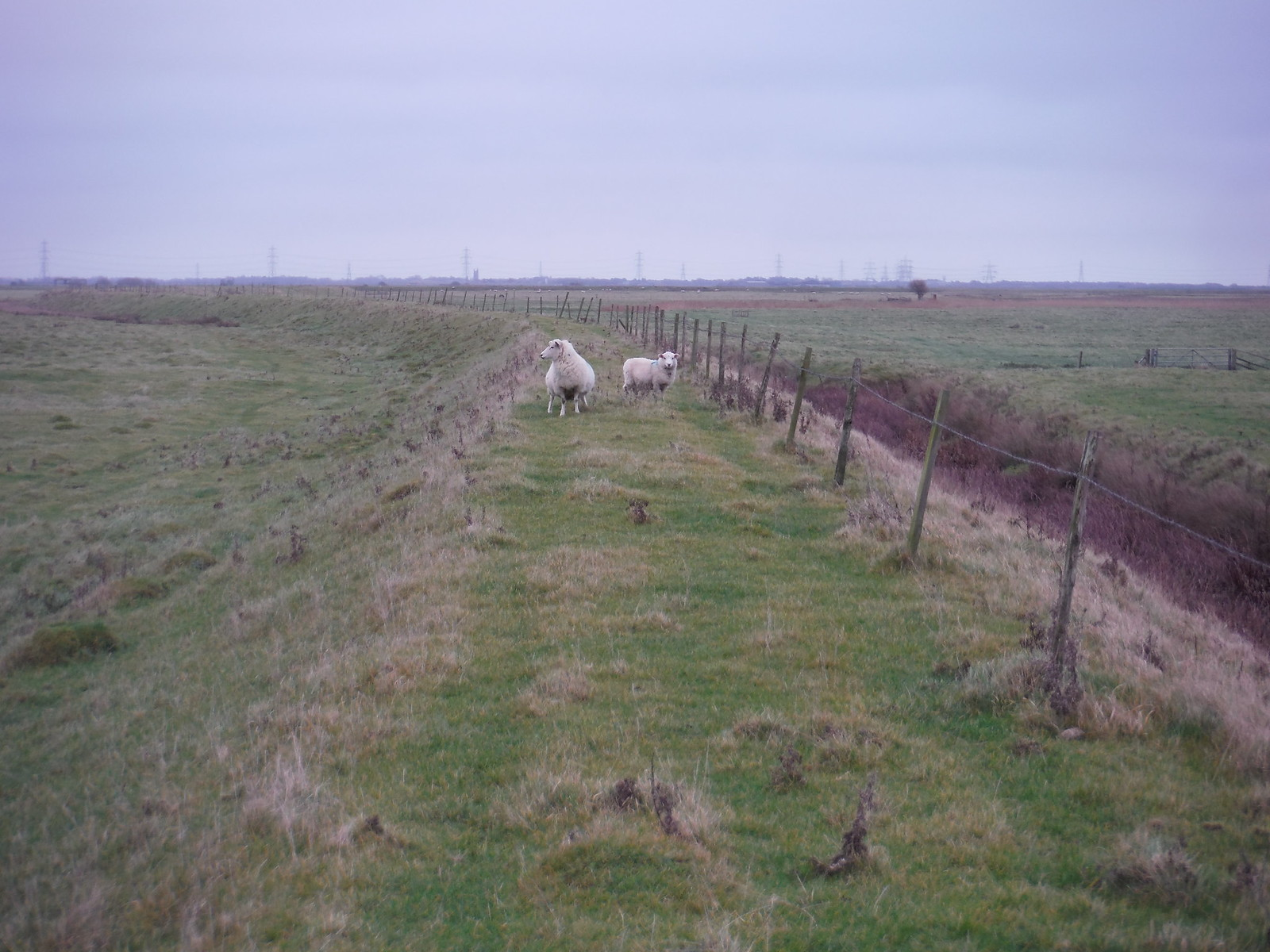 Sheep on Seawall, near Camber SWC 154 - Rye to Dungeness and Lydd-on-Sea or Lydd or Circular (Rye Ending)