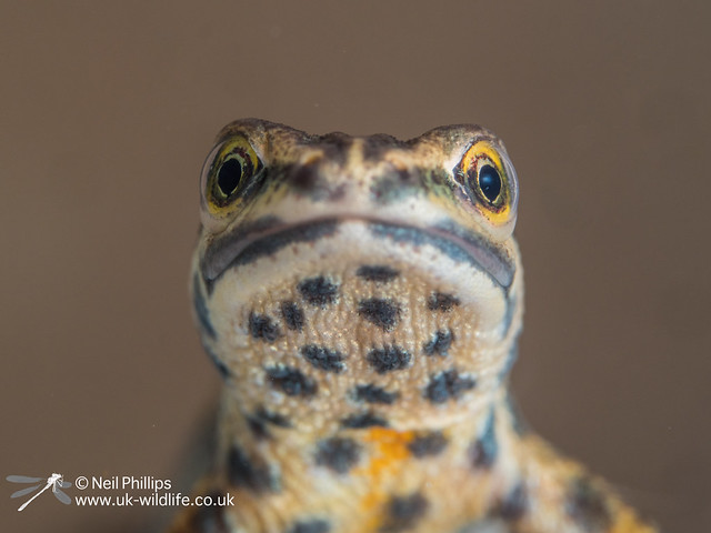 Male smooth newt