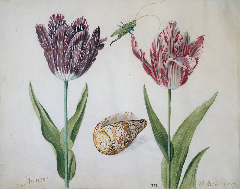 """""""Two Tulips, a Shell and an Insect"""", depicting the most expensive tulip during tulip mania"""