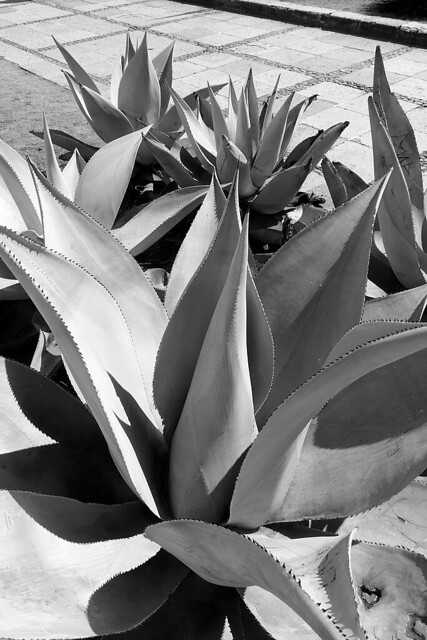 Agave in B&W