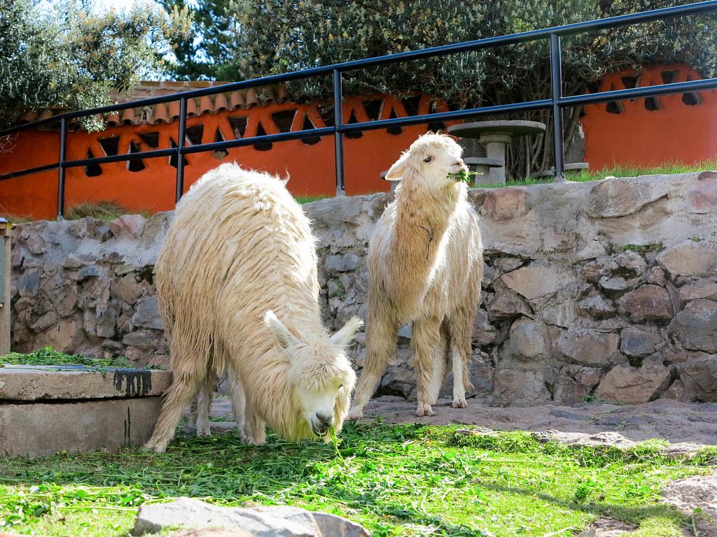 Llamas en Puno