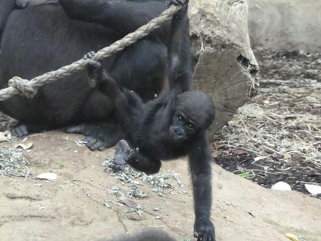 Gorilla Xetsa