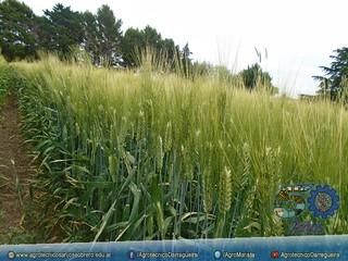 Ensayo de distintas variedades de trigo
