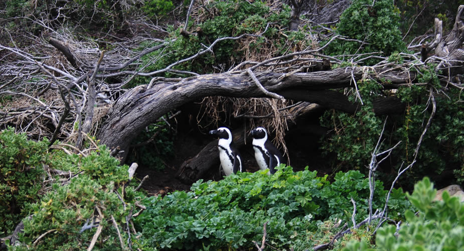 Rondreis Zuid-Afrika: Tuinroute, Stoney point pinguïnkolonie | Mooistestedentrips.nl