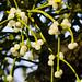 Golden: mistletoe, Shottery