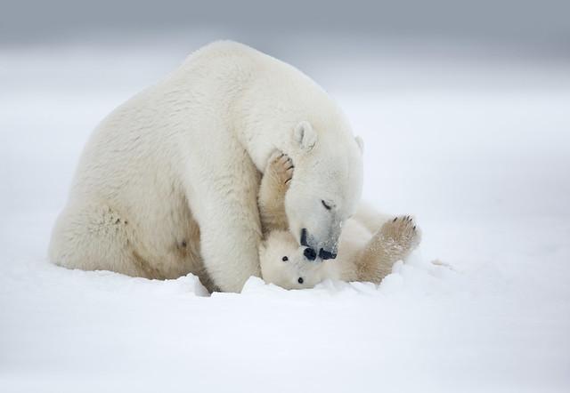 Alaska Polar Bear trip 2018