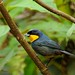 Purplish-mantled Tanager