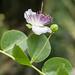 Capparis orientalis 0930-2; Capparaceae (2)