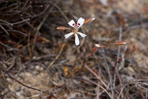 Pelargonium reflexum in wild, geophyte