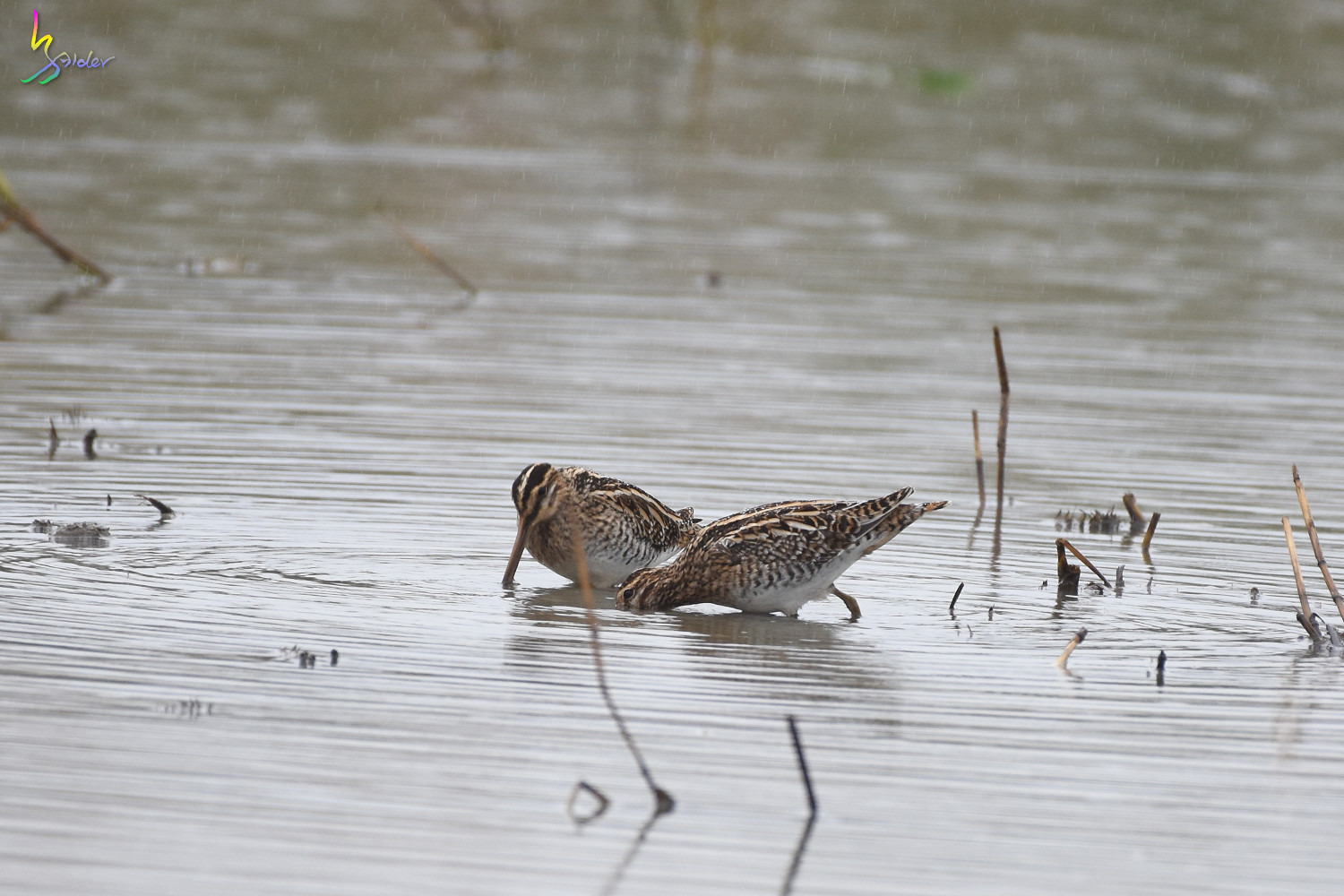 Common_Snipe_9295
