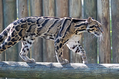 Clouded Leopard Crossing Log