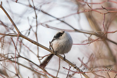 Mésange à longue queue Aegithalos caudatus - Long-tailed Tit : Michel NOËL © 2018-7616.jpg