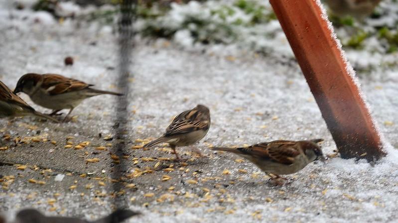Sparrows 31.12.2017