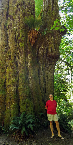 The 'Big Spruce' near Port Renfrew on Vancouver Island, Canada