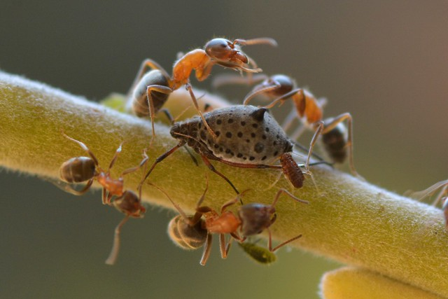 Ants tending a Giant Willow Aphid on Arroyo Willow - and guests