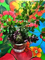 Freshly Cut  Herbs In Water <<>> Red Rubin Basil & Italian Parsely