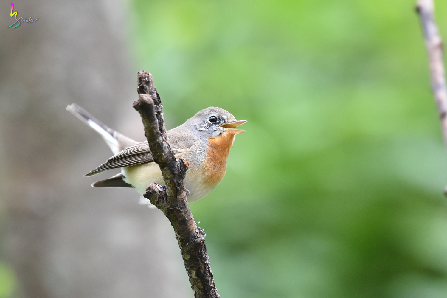 Red-breasted_Flycatcher_1119