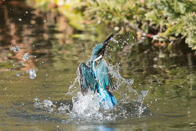 20171225-kingfisher-DSC_2703