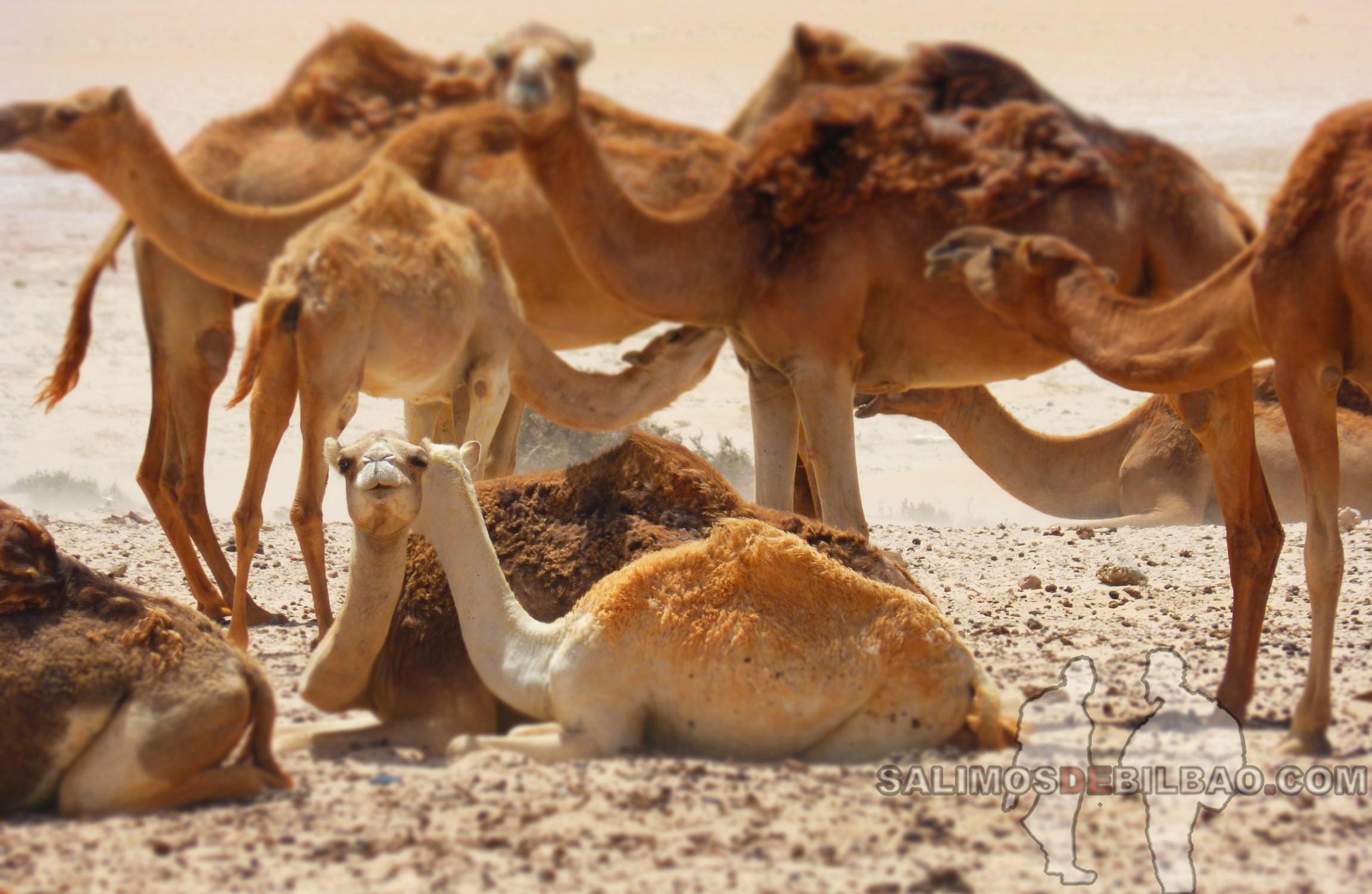 0114. Camellos, La Source