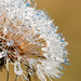 Dandelion Experiments nikon d300s macro by Mario jr Nicorelli ( Macrofotografia Drops Flowers