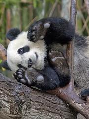 Panda Toes