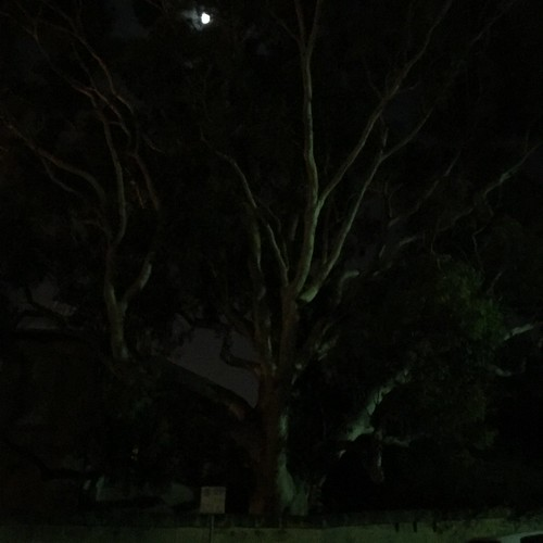 Gum tree and moon