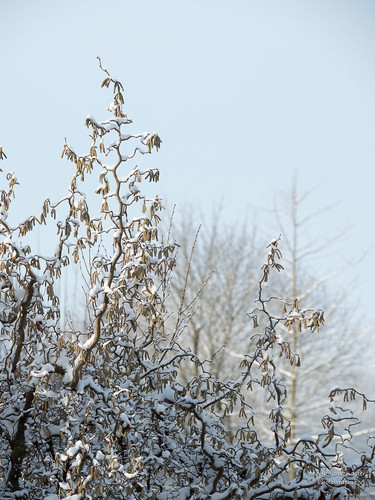 Korkenzieherhasel im Winter