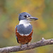 Ringed Kingfisher by Alan Gutsell