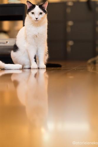 アトリエイエネコ Cat Photographer 25666150268_728bccd4b8 猫カフェ みーちゃ・みーちょ