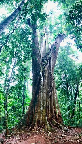 Sacred Tree - Koh Kood