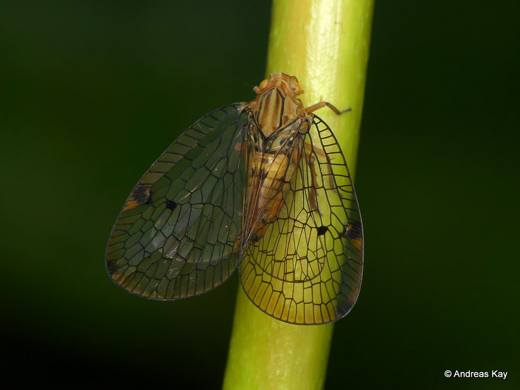 Nogodinid Planthopper