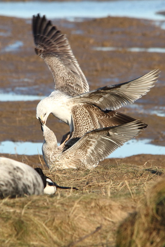 Young Gulls scrapping over some food. Or one feeding the other.