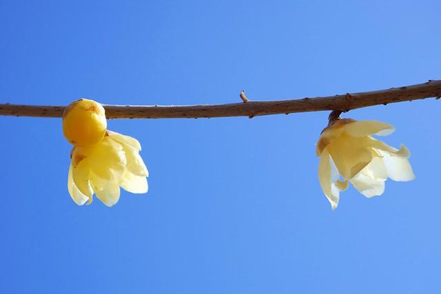 Nagatoro_Wintersweet_(2018_01_02)_8_resized_1 蝋梅の木の枝を撮影した写真。 左から右へ向かって1本の枝が伸びている。 薄い黄色の花が2つ咲いている。 蕾が1つ付いている。