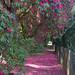 Kelburn Rhododendron