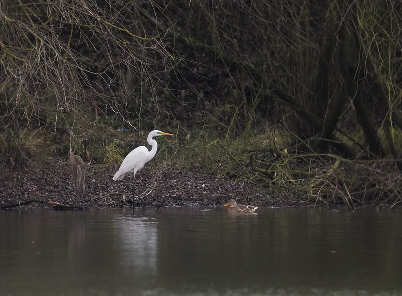 Great White Egret, Stewartby Lake, 23rd Dec 2017