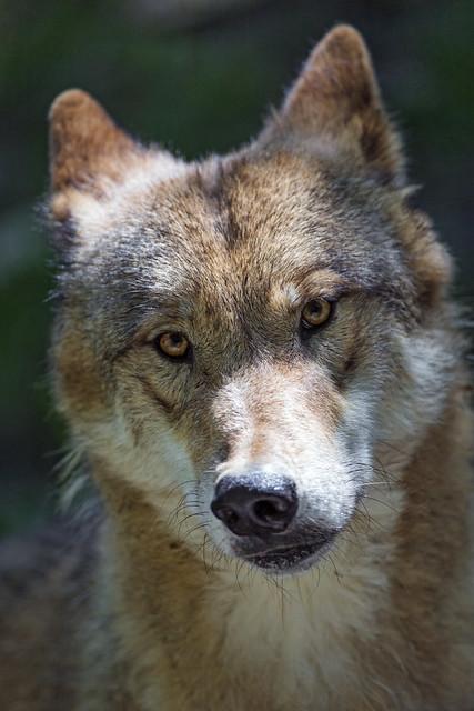 Wolf a a bit shy