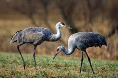 Sandhill Cranes At The Hiwassee Wildlife Refugee