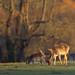 Calke Fallow Deer late winter glow