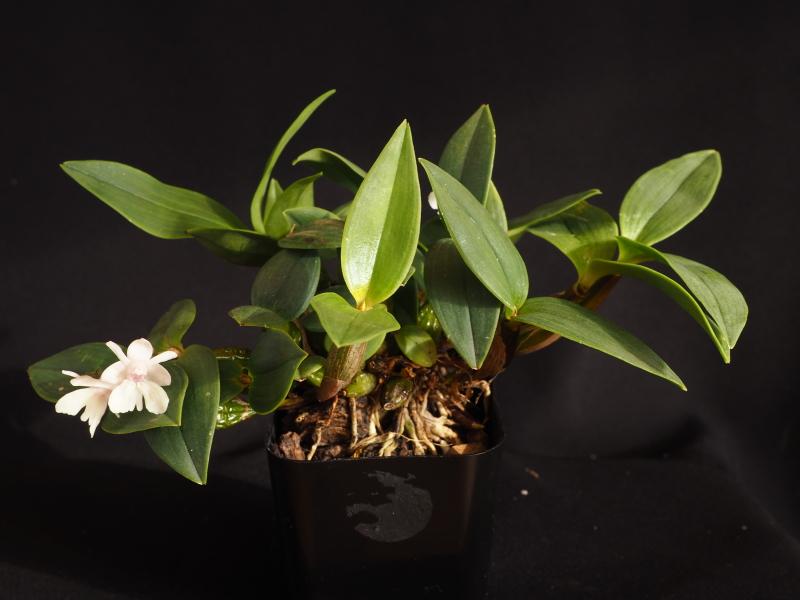Dendrobium aberrans 39382265672_88deff12cc_o