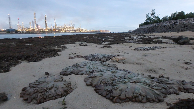 Living reefs of Pulau Hantu opposite petrochemical plants on Pulau Bukom